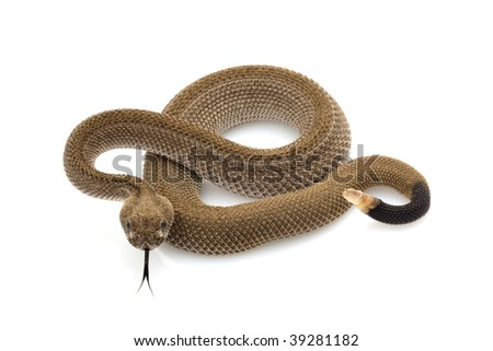 Patternless western diamondback rattlesnake (Crotalus atrox) isolated on white background - stock photo