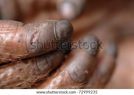 Paw of the orangutan. A hand of a paw of the orangutan close up. - stock photo