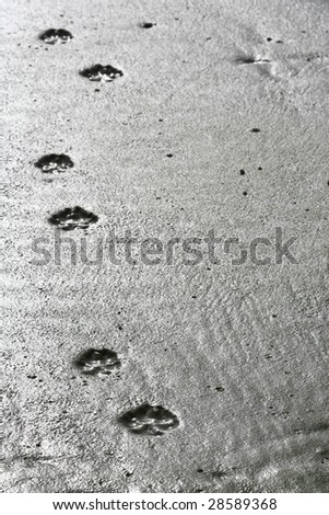 paw prints into the distance - stock photo