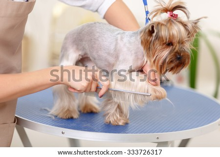 Paws care. Small lovely purebred dog is holding up its paw while being taken care of.