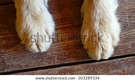 paws of a big dog on the wooden floor  - stock photo