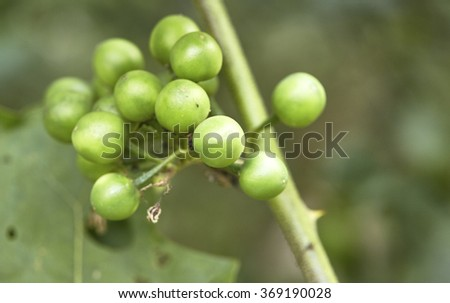 Pea eggplant growing on tree, turkey berry on tree