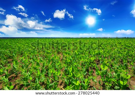 Pea field - stock photo