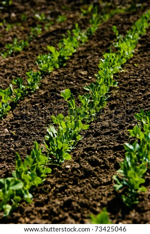 pea plant seedling field  endless pea rows in a garden on a sunny spring day. concept of order and growth - stock photo