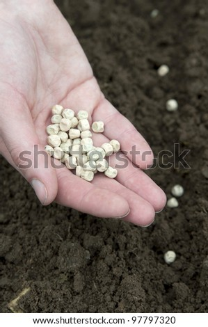 pea planting in the soil - stock photo