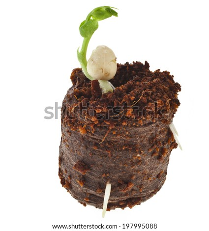 Pea Seedlings in peat compressed tablet pot isolated on white background - stock photo