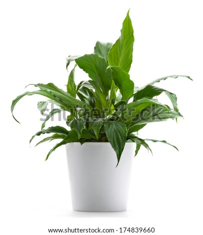 Peace Lily A potted plant isolated on white