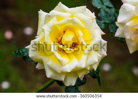 Peace Rose or Yellow and Pink Rose in Garden, Thailand. - stock photo