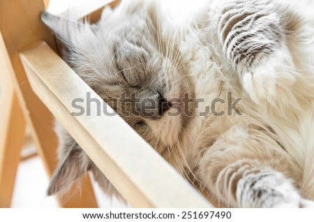 Peaceful gray cat curled up sleeping in the house, closeup - stock photo