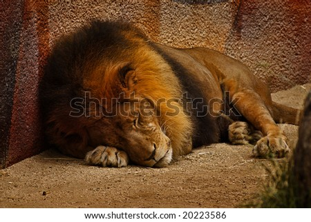 Peaceful Male Lion Sleeping Soundly-Do Not Disturb - stock photo