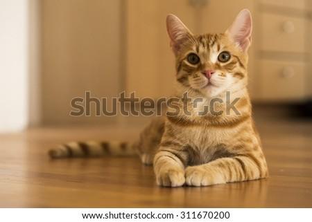 Peaceful orange red tabby cat male kitten - stock photo