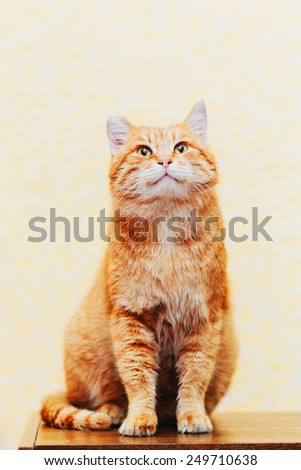 Peaceful Orange Red Tabby Cat Male Kitten Looking Up On Yellow Background - stock photo