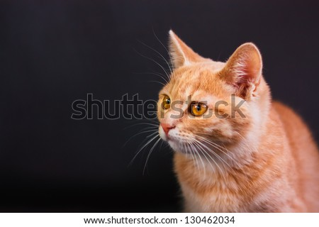 Peaceful Orange Tabby Male Kitten Looking Left - stock photo