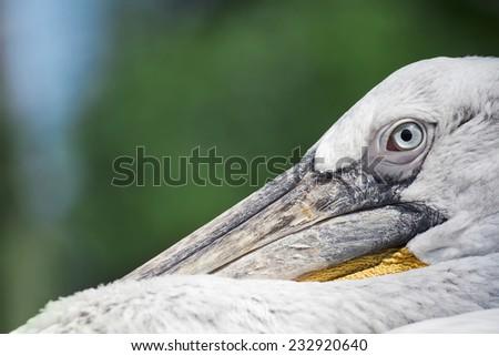 Peaceful pelican. - stock photo