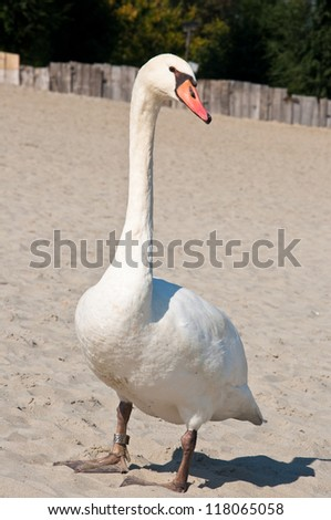 peaceful swan posing - stock photo