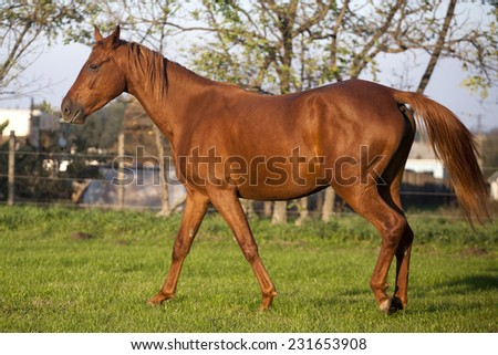 Peaceful young pregnant mare galloping in summer corral. Beautiful hungarian breed gidran horse on pasture . Yearling mare runs in summer field - stock photo