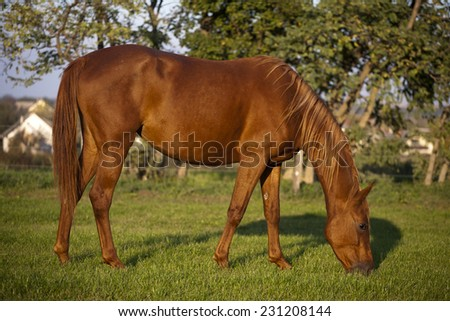 Peaceful young pregnant mare grazing in summer corral. Beautiful hungarian breed gidran mare on pasture - stock photo