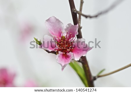 Peach Blossom - stock photo