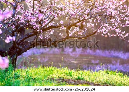 peach blossom,green grass with sunshine - stock photo