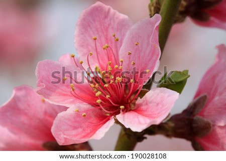 peach blossom in a garden, closeup of photo