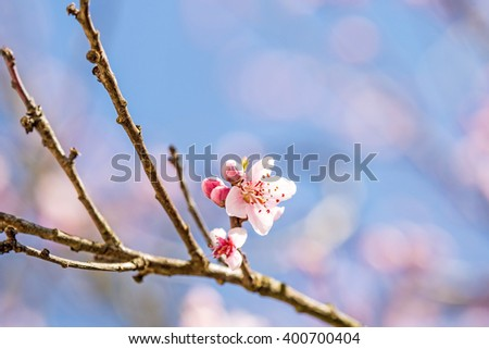 Peach blossom in spring