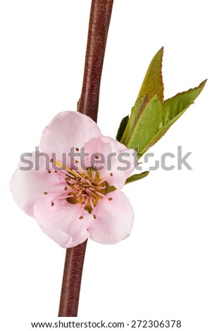 Peach blossom, isolated on white background - stock photo