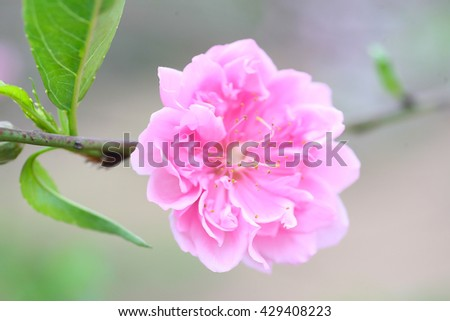 Peach flower background.floral background