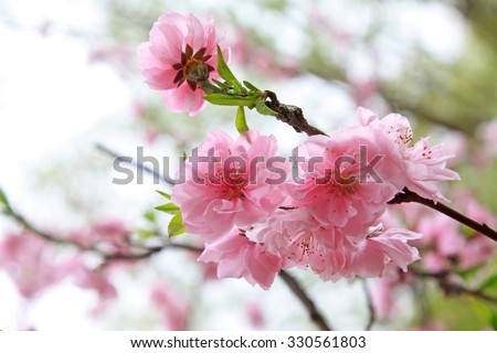 Peach flower blooming in the garden, closeup of photo