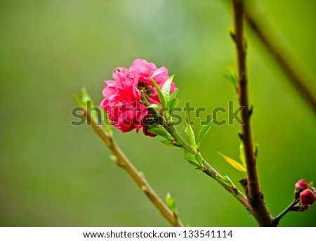 peach flower in the spring
