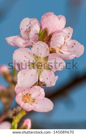 peach flower on blue sky - stock photo