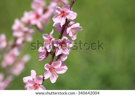 Peach flowers - stock photo