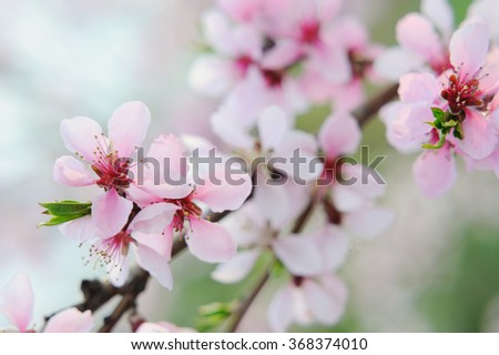 Peach flowers in selective focus on natural background