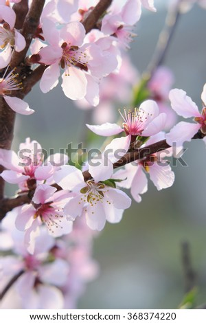 Peach flowers in selective focus on natural background - stock photo
