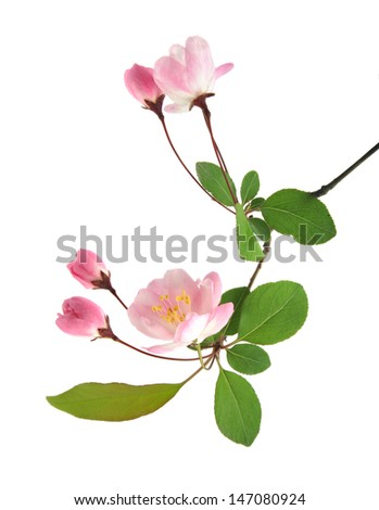 peach flowers on a white background - stock photo