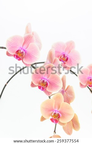 Peach Moth orchids close up over white background