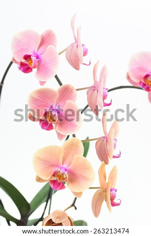 Peach Moth orchids with green leaves close up over white background - stock photo