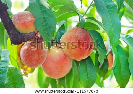 Peach on the tree - stock photo