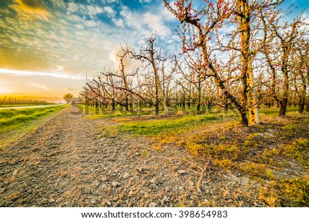 peach orchard in bloom in the Po valley in Emilia Romagna in Italy
