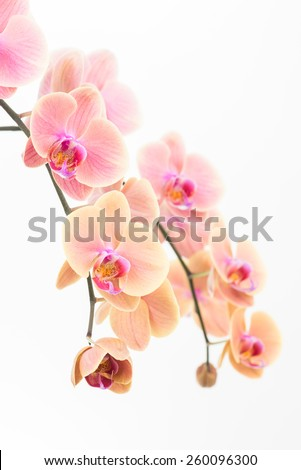 Peach Phalaenopsis orchids and bud close up - stock photo