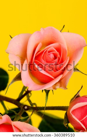 Peach Rose Floral arrangement isolated over a yellow background - stock photo