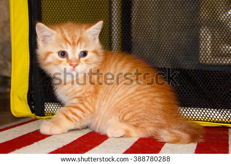 Peach striped tabby kitten red tabby. Home small pet cat. British kitten color gold on silver. Kitten near the cat's house. - stock photo