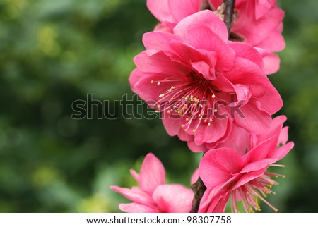 Peach tree blossoms ('crimson cascade weeping peach') with evergreen trees in soft focus in background.  Macro with shallow dof. - stock photo