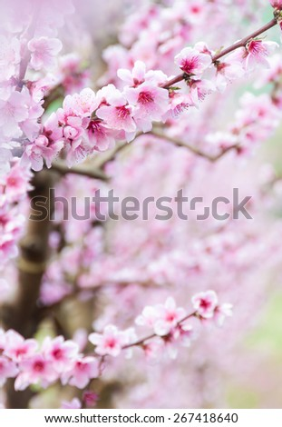 Peach tree in blossom - stock photo
