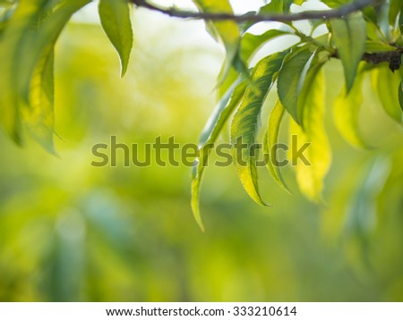 Peach tree leaves over blurred garden background. Shallow DOF, copyspace. - stock photo