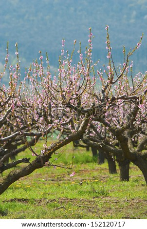 peach trees in a row blossoming at springtime