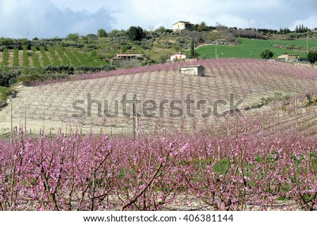 peach trees in flower in Sicily, Italy, Europe