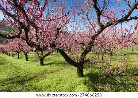 Peach trees with pink blossoms