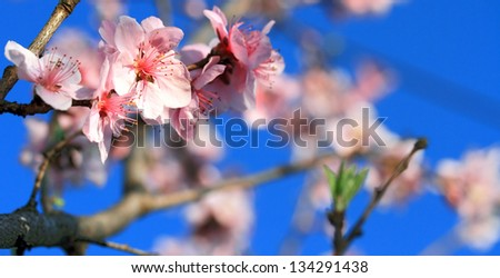 peach twig covered with blossoms on blue sky