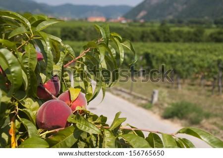 Peaches in the vineyards area of Wachau, Austria - stock photo
