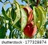 Peaches on branch  - stock photo